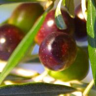 Zusammensetzung Salbengrundlage Olivenöl